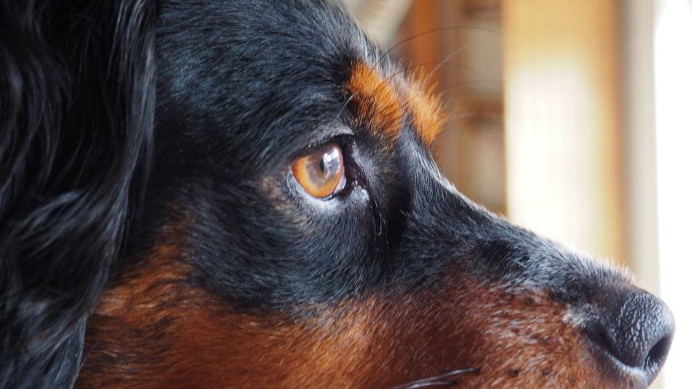 Dog Animal Themes Indoors  Olympus OM-D E-M10 Mark II Epagneul Breton Domestic Animals