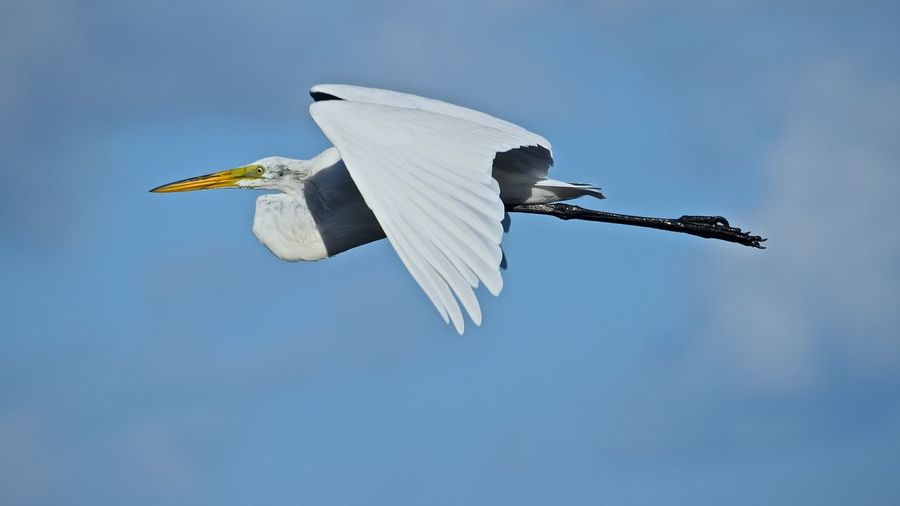 Side View Of Egret Flying Against Blue Sky