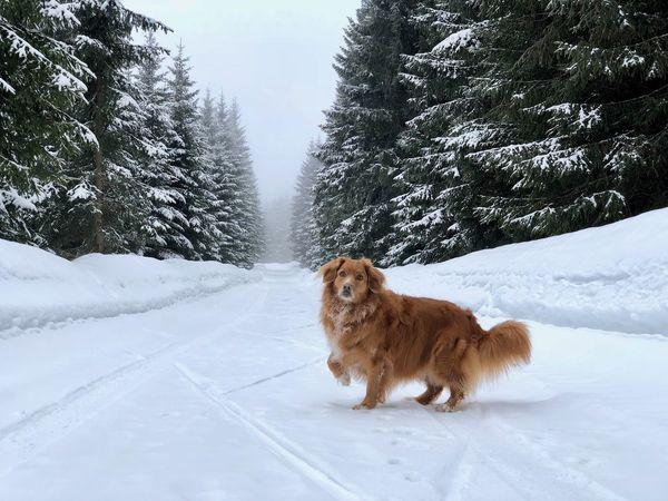 Annie Dog Nsdtr Snow Toller Tree Winter Šumava Šumava Bohemia