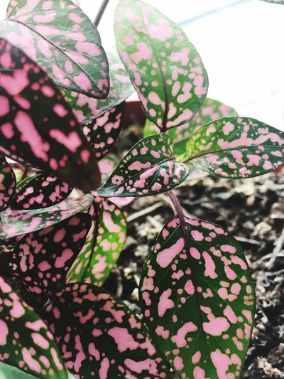 Polka Dot Plant Pattern Plant Growth Close-up No People Green Color Leaf Plant Part Floral Pattern