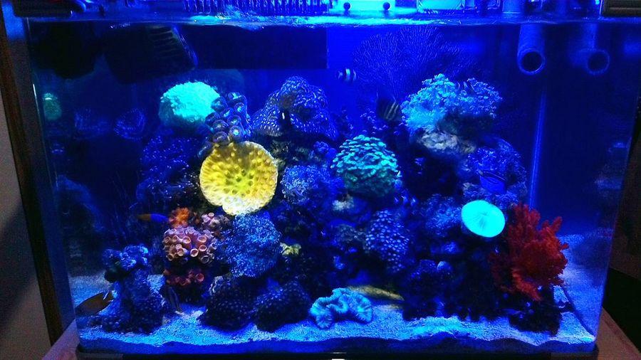 Night view with simple lighting Reeftank Saltwatertank Saltwaterfish Aquarium Akuarium Laut Akuarium Indonesia_allshots Allshots All_shots Marinelife