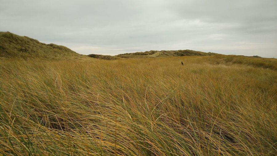 The Grass is Not Green. · Rantum Sylt Germany Island Nordsee Dunes Fields Nature Landscape Wind Beauty Beauty In Nature Gray Sky Clouds And Sky