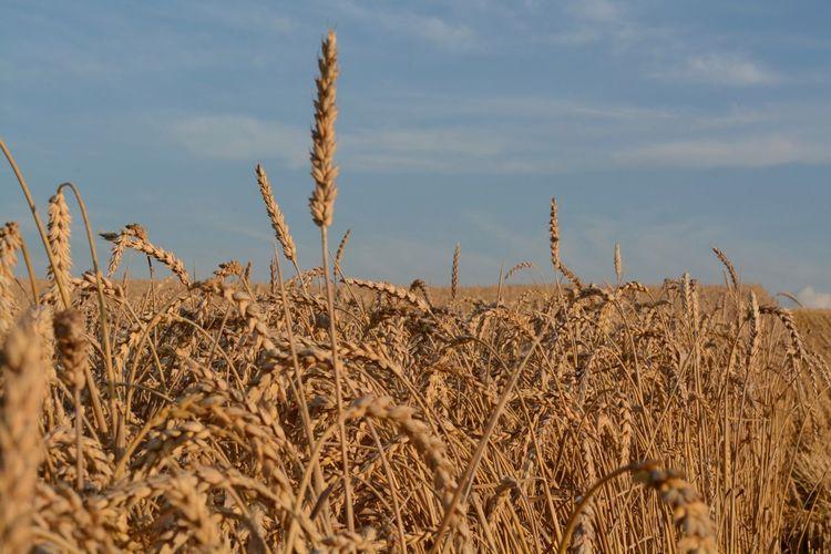 Close Up Of Crop In Field