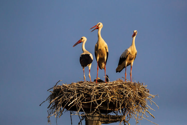 Low angle view of birds perching on nest against clear sky
