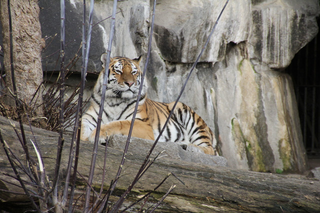 one animal, tiger, animals in the wild, animal wildlife, day, animal themes, looking at camera, outdoors, mammal, no people, portrait, nature