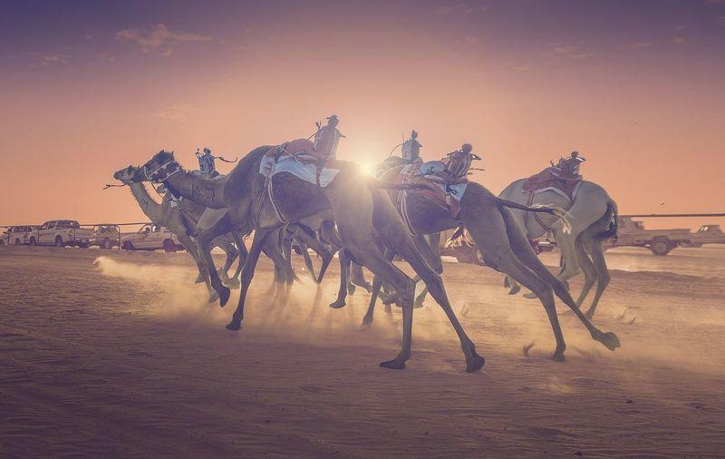 Camel Camels
