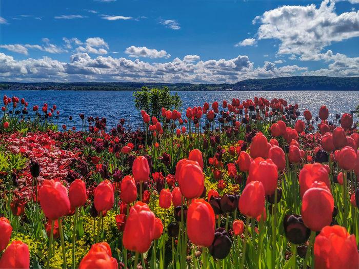 Red flowering plants by sea against sky
