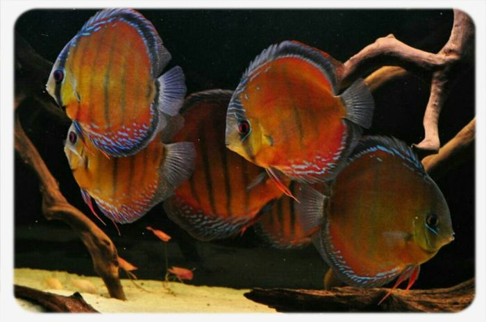 Wild Discus Red Alenquer Aquaristik Fish Discusfish Aquarium