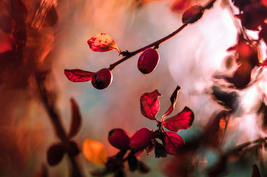 Autumn Colors Bokeh Botany Branch Bud Close-up Cotoneaster Depth Of Field Elégance Focus On Foreground Food And Drink Fragility Freshness Fruit Glowing Growth Hanging Healthy Eating Leaf Red Ripe Selective Focus Springtime Stem Twig