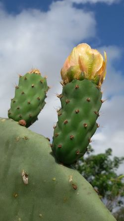 Cactus Thorn Prickly Pear Cactus Growth Nature Danger Uncultivated Spiked RISK Sky Green Color Plant No People Cloud - Sky Beauty In Nature Close-up Outdoors Desert Arid Climate Tranquility