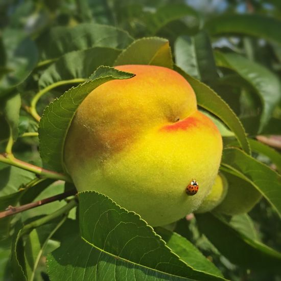 Ladybug Peach Plant Part Close-up Leaf Green Color Growth Plant Fruit No People Insect Freshness