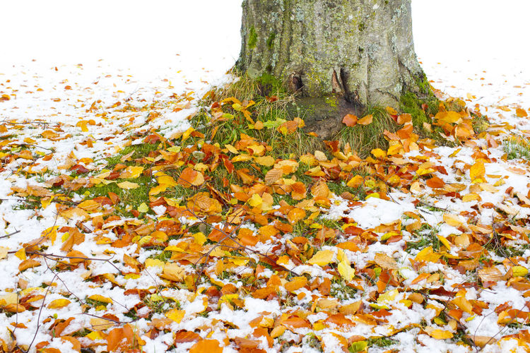 Autumn leaf on snow Autumn Backgrounds Beauty In Nature Close-up Day Freshness Growth Leaf Nature No People Outdoors Snow Tree