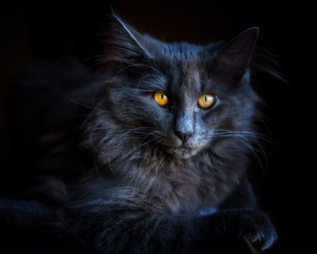 Onyx. Norvegianforrestcat Young Animal Black Background Pets Portrait Feline Domestic Cat Looking At Camera Yellow Eyes Black Color Alertness Close-up Animal Eye Animal Face Kitten Cat Ear At Home