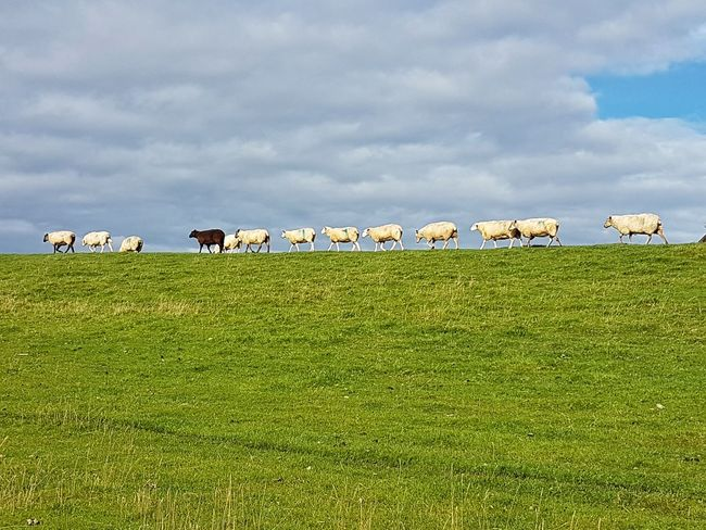 black sheep in a row of white-ones, Germany🇩🇪 Agriculture Landscapes Schleswig-Holstein Steindeich Germany🇩🇪 Elbestrand Grass Rural Scene Domestic Animals Landscape Large Group Of Animals Sheep Herding Sheep EyeEmNewHere The Week On EyeEm EyeEm Nature Lover EyeEm Germany