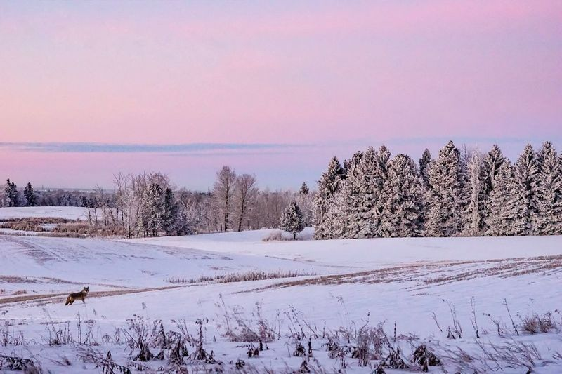 Early morning hunt Photography416 Winter Snow Cold Temperature Plant Nature Tree My Best Photo Beauty In Nature Sky No People Scenics - Nature Tranquility Land Field Environment Landscape Tranquil Scene Day Outdoors Sunset Snowcapped Mountain My Best Photo