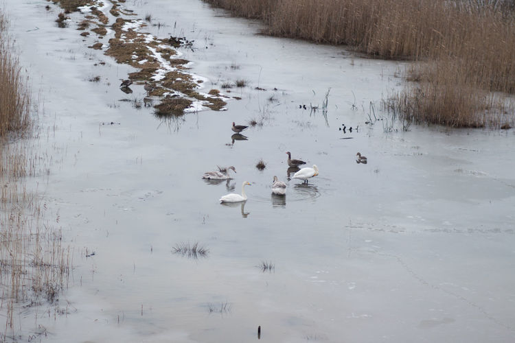 Water Animals In The Wild Bird Group Of Animals Animal Wildlife Animal Themes Animal Vertebrate Lake Swimming Nature Cold Temperature Winter Large Group Of Animals No People Beauty In Nature Poultry Day Duck Outdoors Flock Of Birds Floating On Water Swans On The Lake Swans Swan Lake Goose Resting Place Springtime