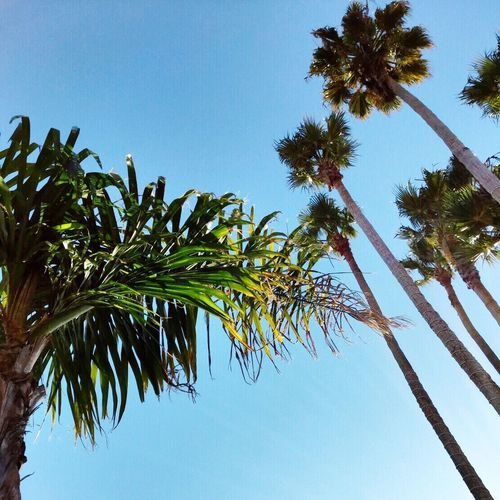 Palm Tree Low Angle View Clear Sky Blue Summer First Eyeem Photo