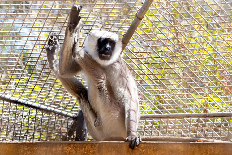 Low Angle View Of Gray Langur In Cage