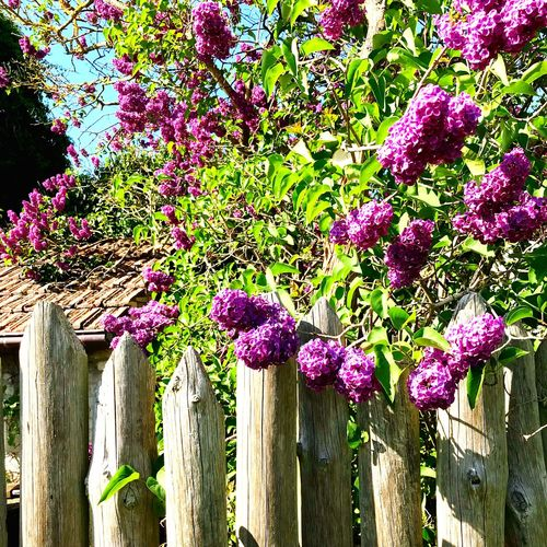 Lilac Lilac Flowers EyeEm Best Shots EyeEm Nature Lover Plant Growth Flowering Plant Flower No People Multi Colored Day Purple Fence Beauty In Nature Outdoors Close-up Sunlight Nature Vulnerability
