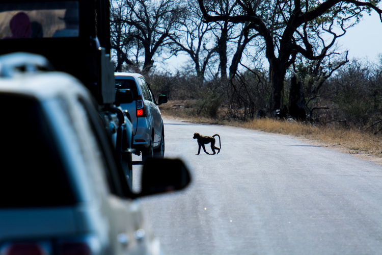 Transportation Road Car Motor Vehicle Land Vehicle Tree Mammal Animal Animal Themes Pets Street Day Travel Outdoors Safari Safari Animals Monkey Safari Park Kruger Park Krugernationalpark Krugerpark Africa South Africa Animalcrossing Crossing The Street