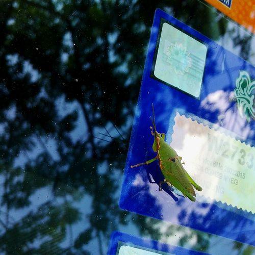 Belalang Grasshopper Insect Jump High