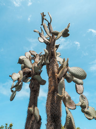 Cactus trees Beauty In Nature Blue Branch Cactus Cloud - Sky Day Growth Low Angle View Nature No People Outdoors Plant Saguaro Cactus Sky Succulent Plant Sunlight Tranquility Tree Tree Trunk Trunk