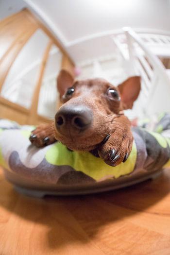 The Dog Close-up Cute Pets Dog Fisheye FishEyeEm Minpin Nose Pets Pincher
