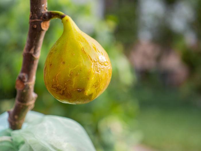 Close-up of lemon growing on tree