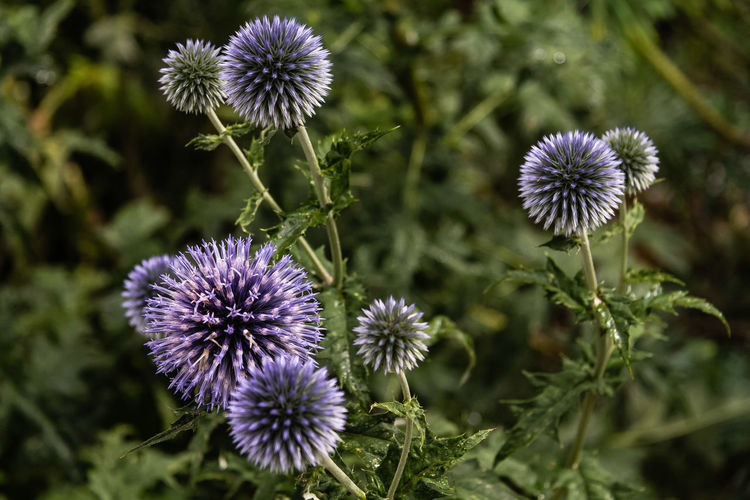 Onopordum acanthium (cotton thistle, Scotch thistle) is a flowering plant in the family Asteraceae. It is native to Europe and Western Asia from the Iberian Peninsula east to Kazakhstan, and north to central Scandinavia, and widely naturalised elsewhere.[1][2][3] It is a vigorous biennial plant with coarse, spiny leaves and conspicuous spiny-winged stems. https://en.wikipedia.org/wiki/Onopordum_acanthium Echinops Beauty In Nature Blooming Close-up Day Flower Head Outdoors Violet