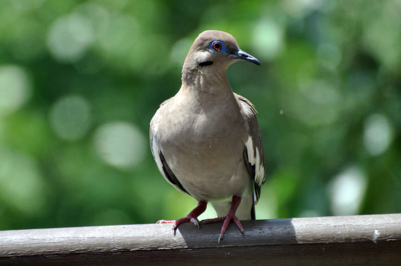 Bird Vertebrate Animal Themes Animal Animals In The Wild One Animal Perching Animal Wildlife Focus On Foreground Close-up Day No People Railing Wood - Material Nature Outdoors Full Length Zoology Dove - Bird Dove White Winged Dove White-winged Dove