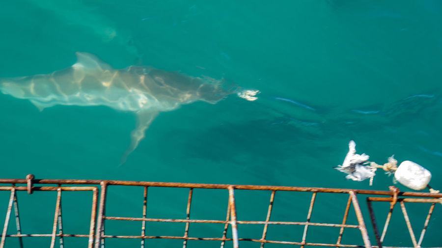 Copper Sharks
