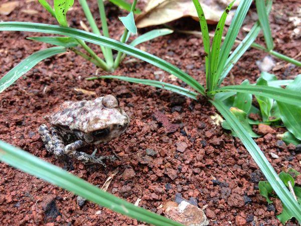 Frog (katak) Frog Katak Amphibian Amphibi Wildlife Animal Themes Animal Photography Close-up Nature Kodok