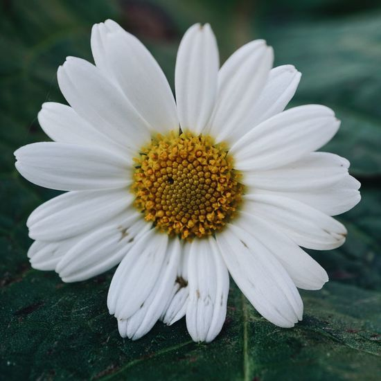 daisy flower plant Daisy Daisy Flower Flower Plant Petal White Garden Nature Flora Floral Decoration Decorative Beauty In Nature Beauty Fragility Freshness Romantic Love Pollen Blossom