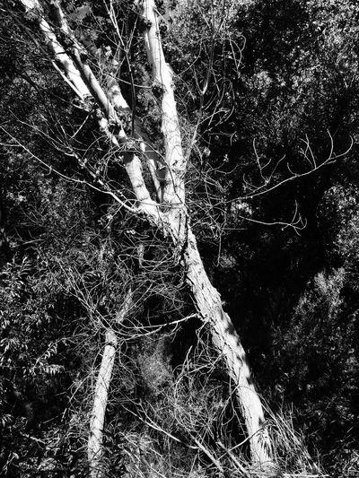 Big Morongo Canyon Preserve Walking Around Hiking Outdoors Nature Monochrome Blackandwhite Trees