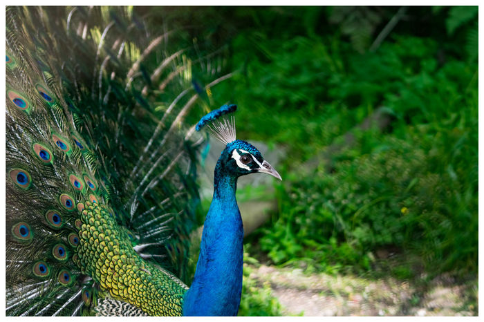 national bird of india India Travel Travelphotography Nikon Photographers_of_india Animals In The Wild EyeEm Selects Wildlife Natgeo Bird Colors Peacock Feather Bird Peacock Fanned Out Multi Colored Tree Feather  Close-up Grass Tropical Bird