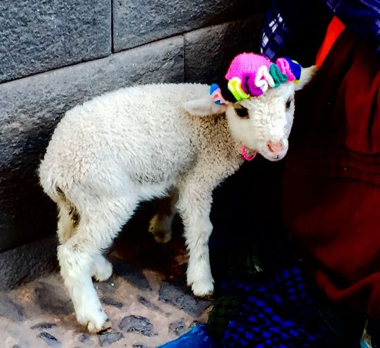 A Little Pretty Sheep Cusco Street Peru 2016 Showcase July Farm Animal Colorful Hat Festival Season Colour Of Life Two Is Better Than One Two Ears