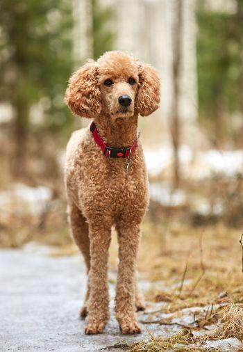 Standard poodle on footpath
