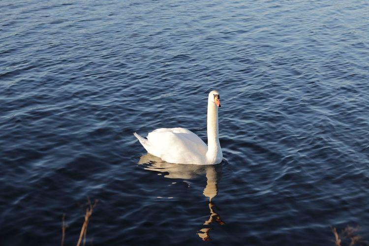 Adult cygnet on the lake. Bird Photography Cygnet Swan, Cygnet, Bird On Water, Wild Animal Animal Wildlife Lake View Swan Swans On The Lake Water Birds Wild Birds