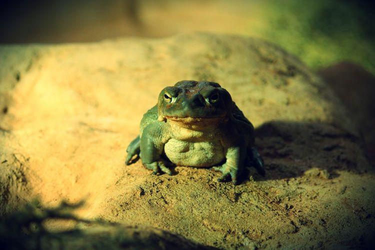 Frog Close-up Quaaaaack!