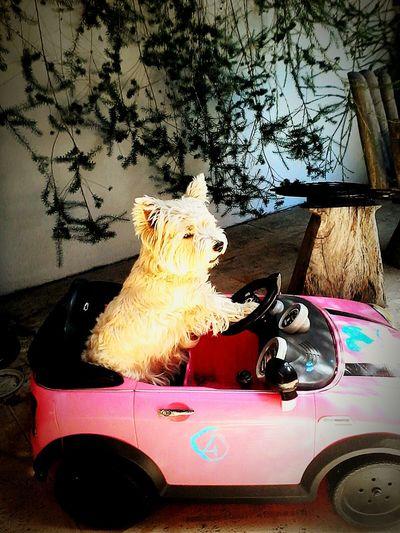 My Doggy Lovely Car Summer Dogs