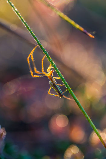A beautiful closeup of a spider liwing in the swamp. Spaider nets in wetlands in an early morning in Latvia, Northern Europe. Dew Grass Morning Spider Swamp Close-up No People Web