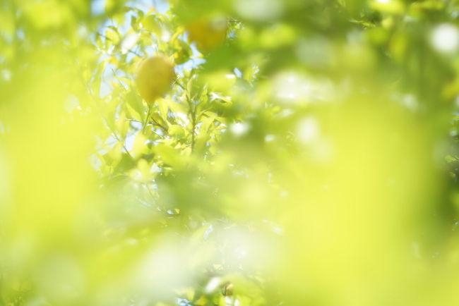 Lemon Defocused Backgrounds Leaf Springtime Summer Agriculture Close-up Grass Plant