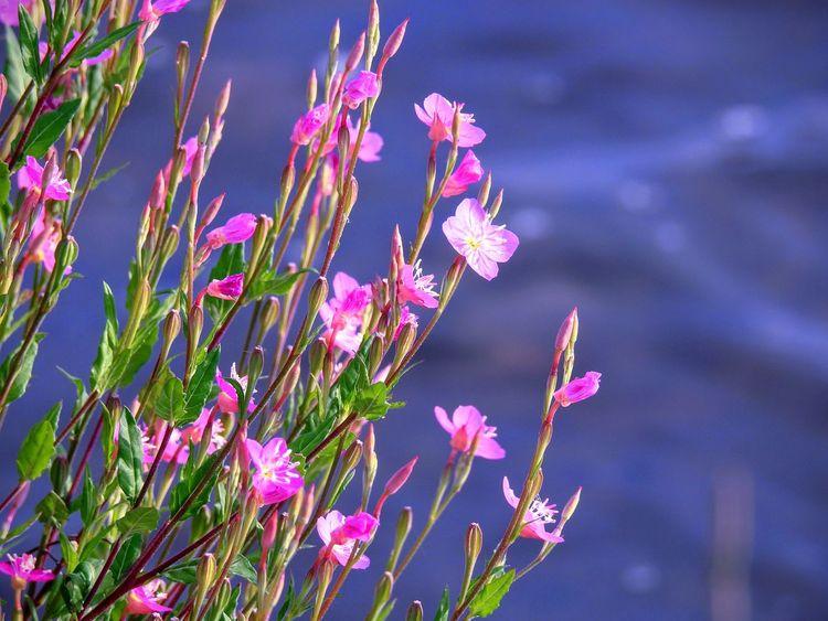 "「rose evening primrose」 A flower blooming in the evening blooms in morning😂 ちょっと水辺散策😊 ピンクの可愛いお花が😄「アカバナユウゲショウ」 夕方に咲くから""夕化粧""と付いた筈なのに朝から咲いてるんだよね~😍 Flower Taking Photos Pink Color Emyem Best Fotoshoot Eyeemphotography EyeEm Gallery EyeEm Best Shots EyeEm Nature Lover EyeEmBestPics Riverside Beautiful Flowers Flower Collection Relaxing Kokurakitaku Kitakyushu-shi Fukuoka Japan"