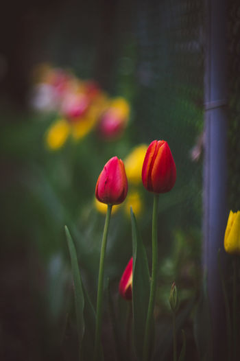 Tulip EyeEm