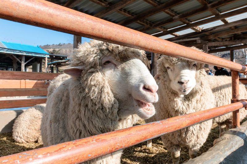 Portrait of sheep in pen