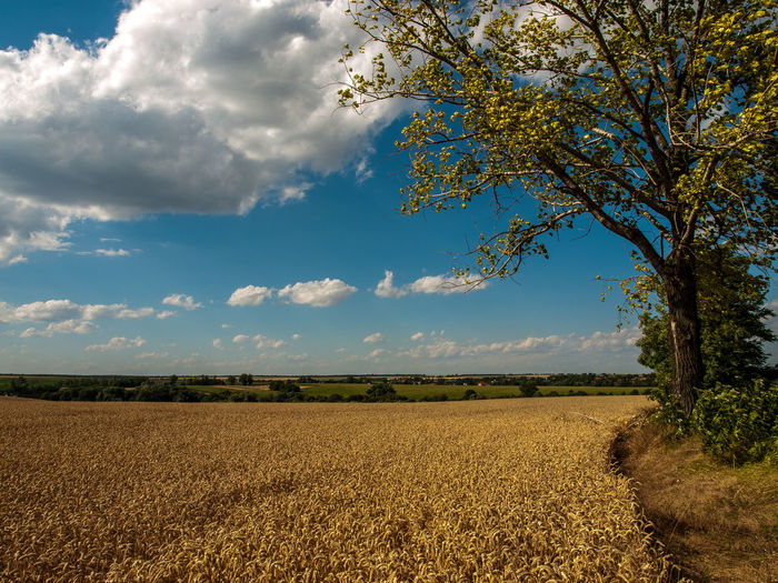 wheat field Cloud - Sky Field Landscape Nature Rural Scene Tranquil Scene Tree Wheat