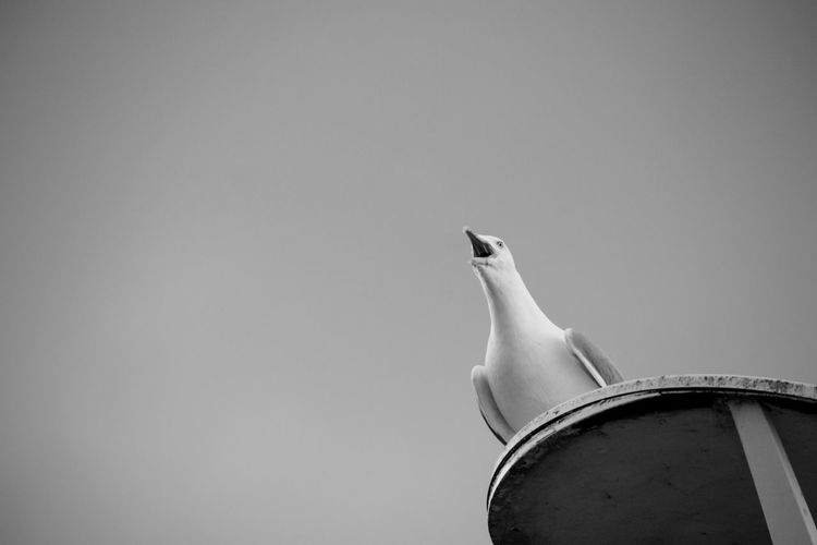 Low Angle View Of Seagull Perching Against Clear Sky