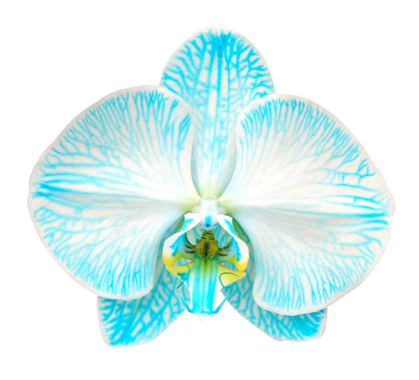 High angle view of blue flower against white background