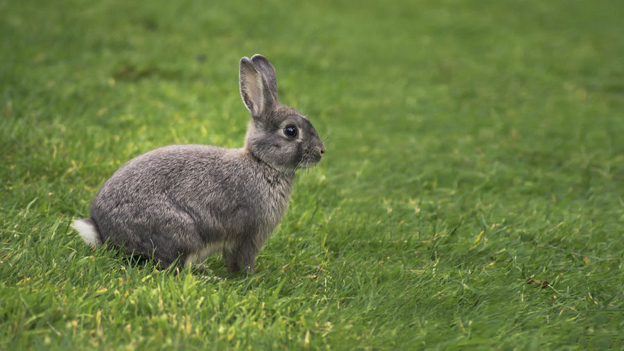 Rabbit Grass