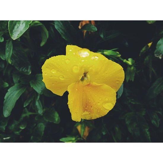 春雨过后 娇艳欲滴 梅溪湖 长沙 花儿 雨天 flowers changsha rain vsco vscocam